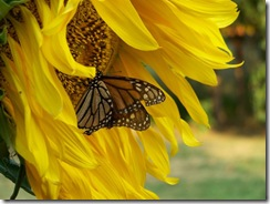 YellowFlowerWButterfly