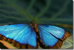BlueButterfly2